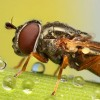Amazing pictures of insects in drops of dew - Pictures nr 10
